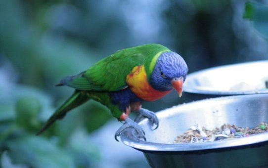 Сколько может прожить попугай без еды и воды?