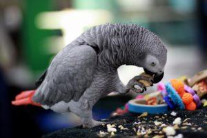 попугай много есть