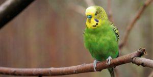 попугай не чирикает
