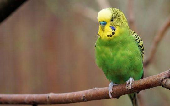 Почему попугай не чирикает?