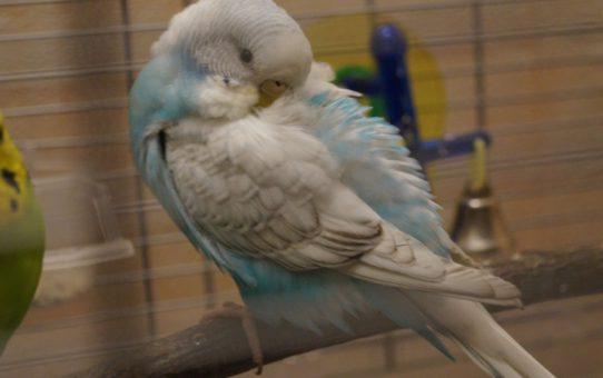 Попугай спит днем