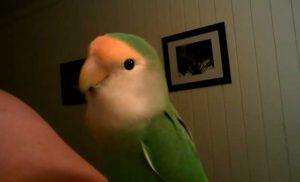 попугай срыгивает