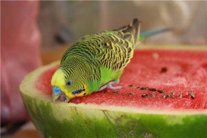попугай ест арбуз