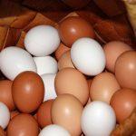 Можно ли попугаям куриное яйцо