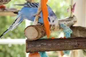 попугай есть морковку