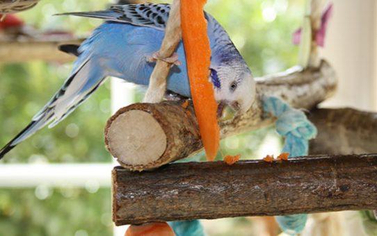 Можно давать волнистым попугаям, неразлучникам, кореллам морковь?