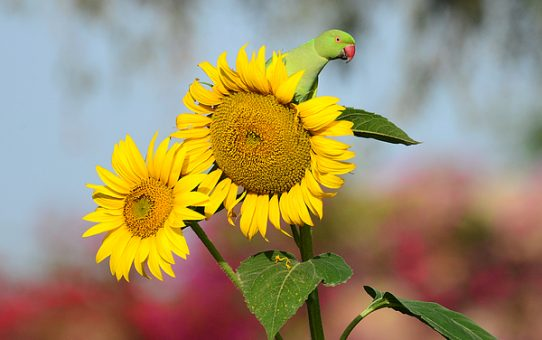Можно ли попугаю давать семечки?