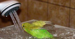 попугаи купаются