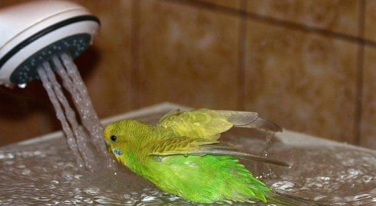 Можно ли купать попугая?