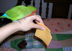 сыр для попугая