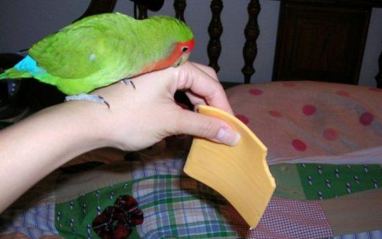 Можно ли попугаю сыр?