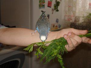 укроп для попугая