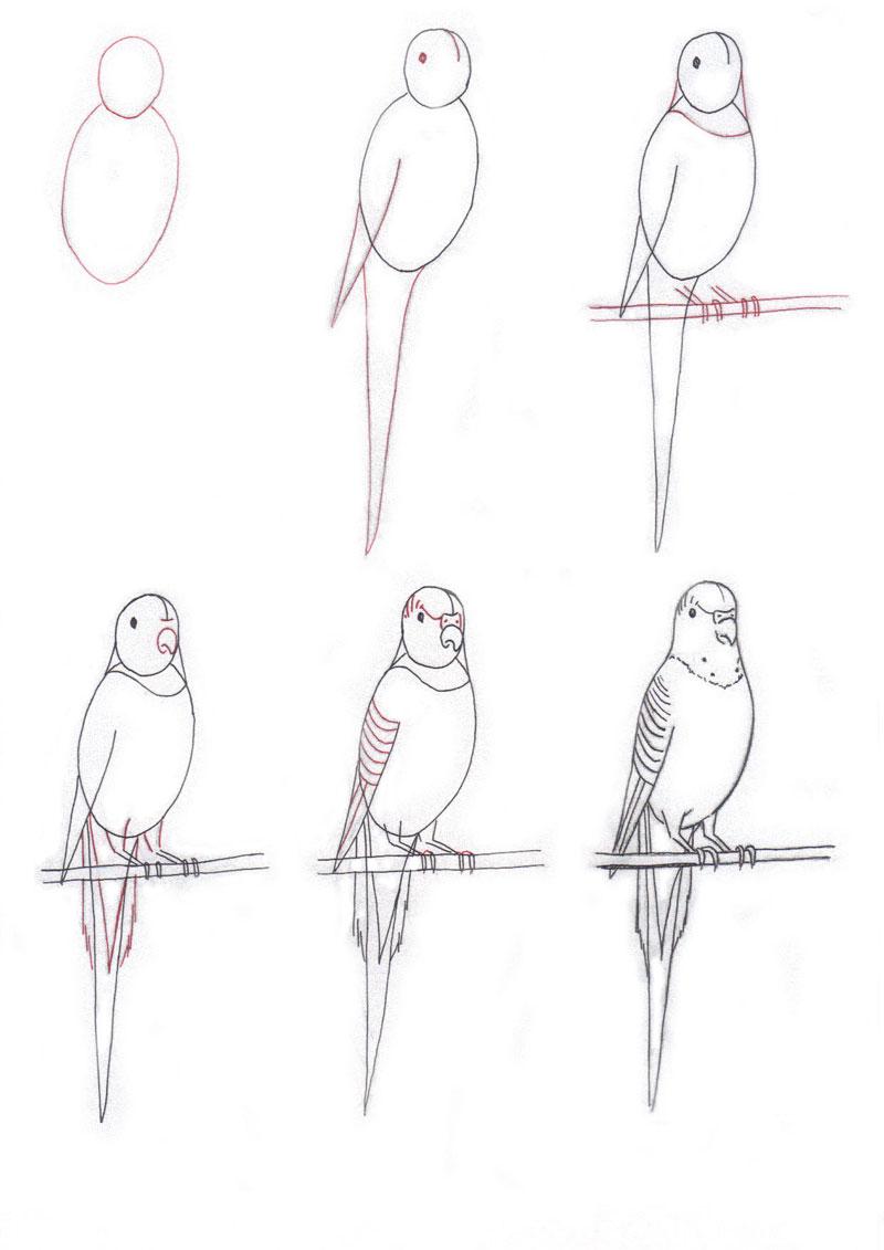 нарисовать волнистого попугая