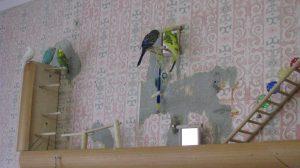 попугай грызет обои