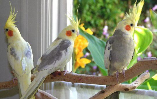 Кто лучше попугай – мальчик или девочка?
