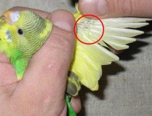 паразиты у попугаев кореллы