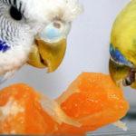 Питание волнистых попугаев. Что можно и нельзя давать.