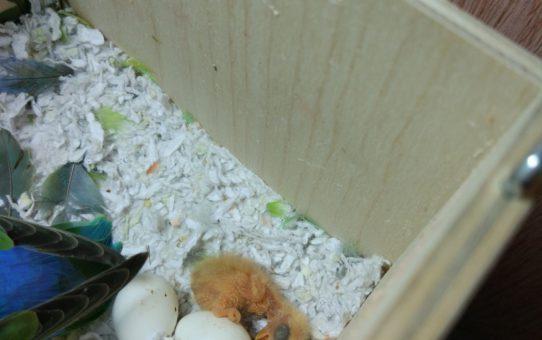 Самка снесла яйцо, а потомство не планируется