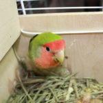Подготовка к гнездованию неразлучников. Факторы допуска птиц к гнездованию.