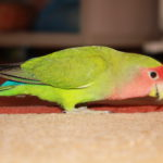 Сколько стоит попугай неразлучник