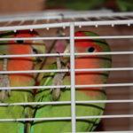 Сколько живут попугаи неразлучники