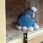 Подготовка к гнездованию волнистых попугаев. Факторы допуска птиц к гнездованию.