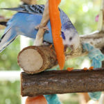 Норма кормления волнистого попугая. Сколько в день корма ему нужно.