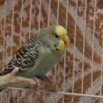 Основы содержания волнистого попугая. Обустройство жилища.