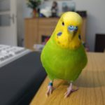 Как определить здорового попугая