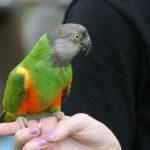 Питание сенегальского попугая