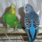 Почему попугаи линяют?
