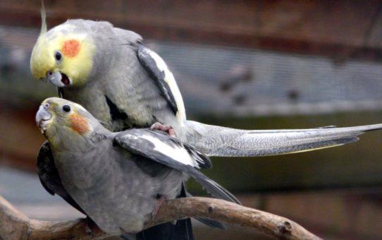 Как размножаются попугаи