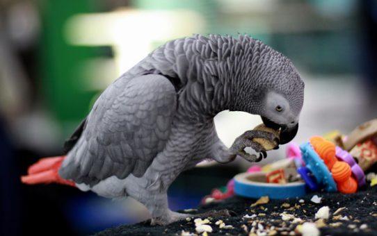 Попугай много ест