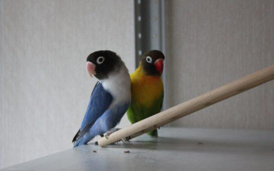 Купить розовощекого и маскового попугая неразлучника