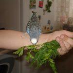 Можно ли попугаям укроп?