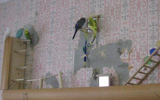 Попугай грызет обои, что делать?